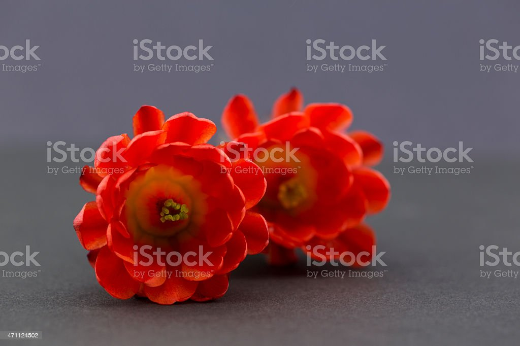 Two red hedgehog cactus flowers on gray background stock photo