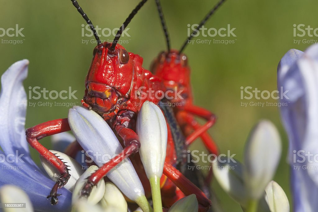 Two red locusts on a flower royalty-free stock photo