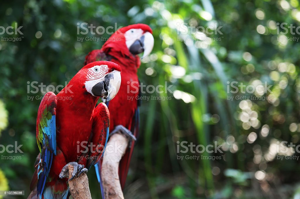 Two red parrot stock photo