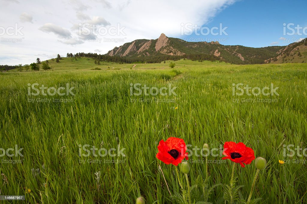 Two red poppies growing in a large field of grass royalty-free stock photo