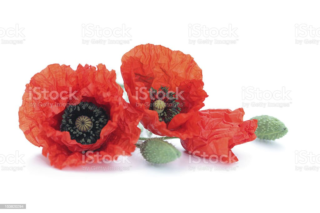 Two red poppies on a white background royalty-free stock photo