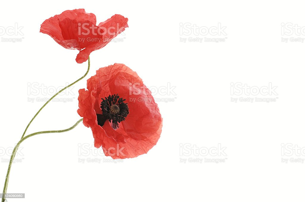 two red poppy flowers royalty-free stock photo