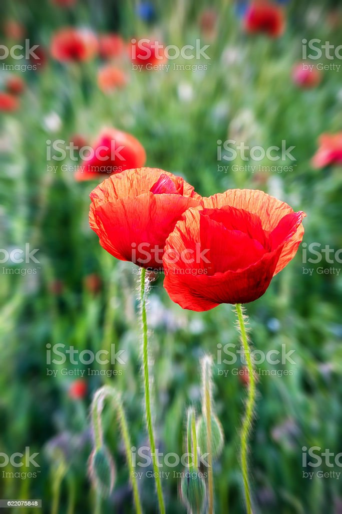 Two red poppy on the nature blurred background stock photo