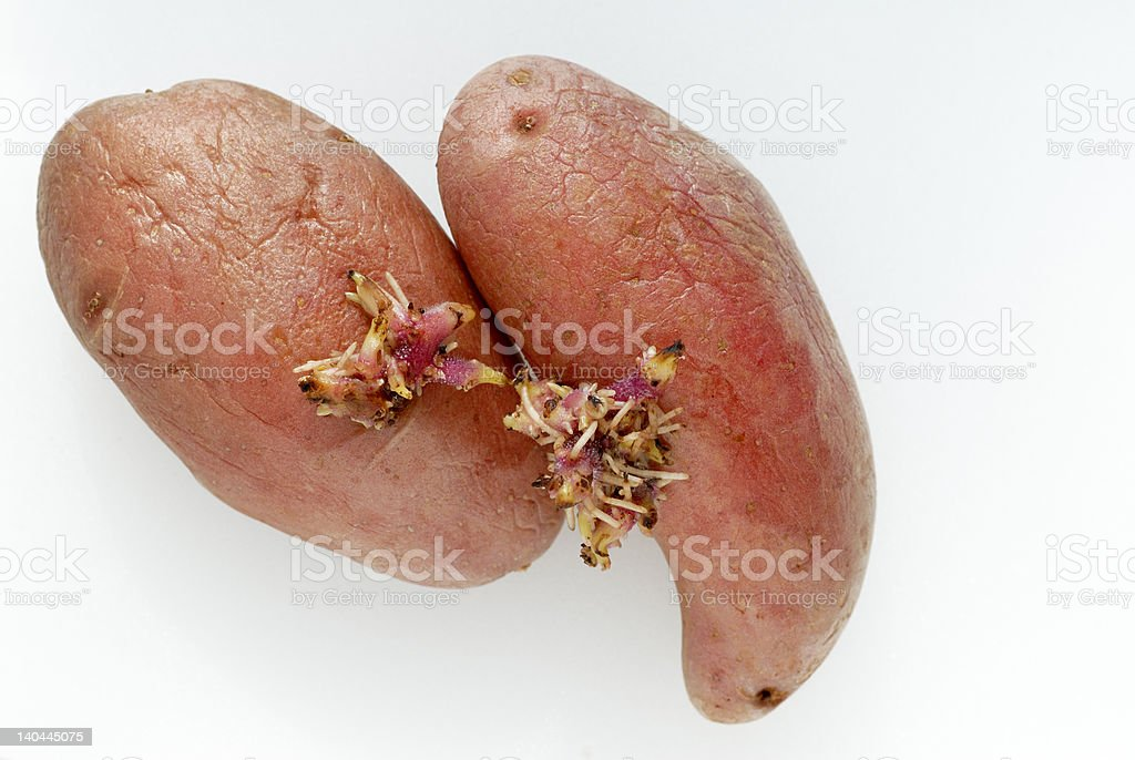 Two red potatoes with shoots royalty-free stock photo