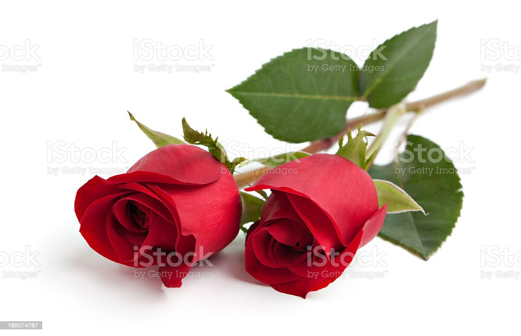 Two red rose stems stock photo