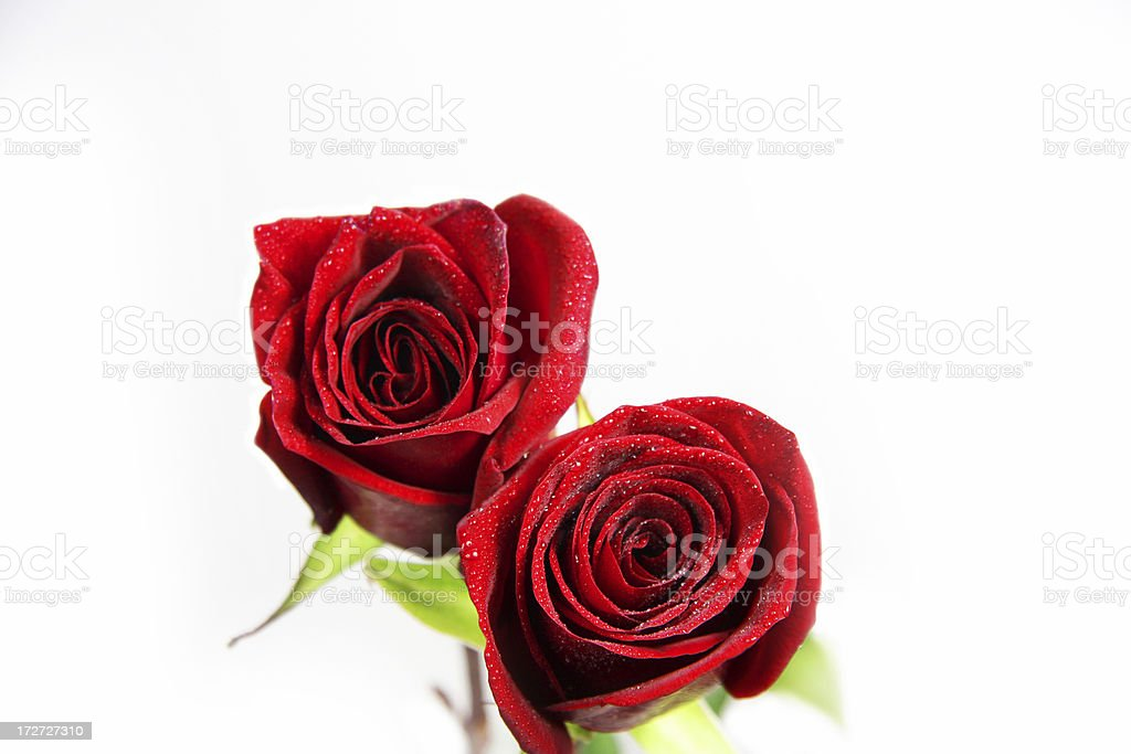 Two Red Rose with White Background royalty-free stock photo