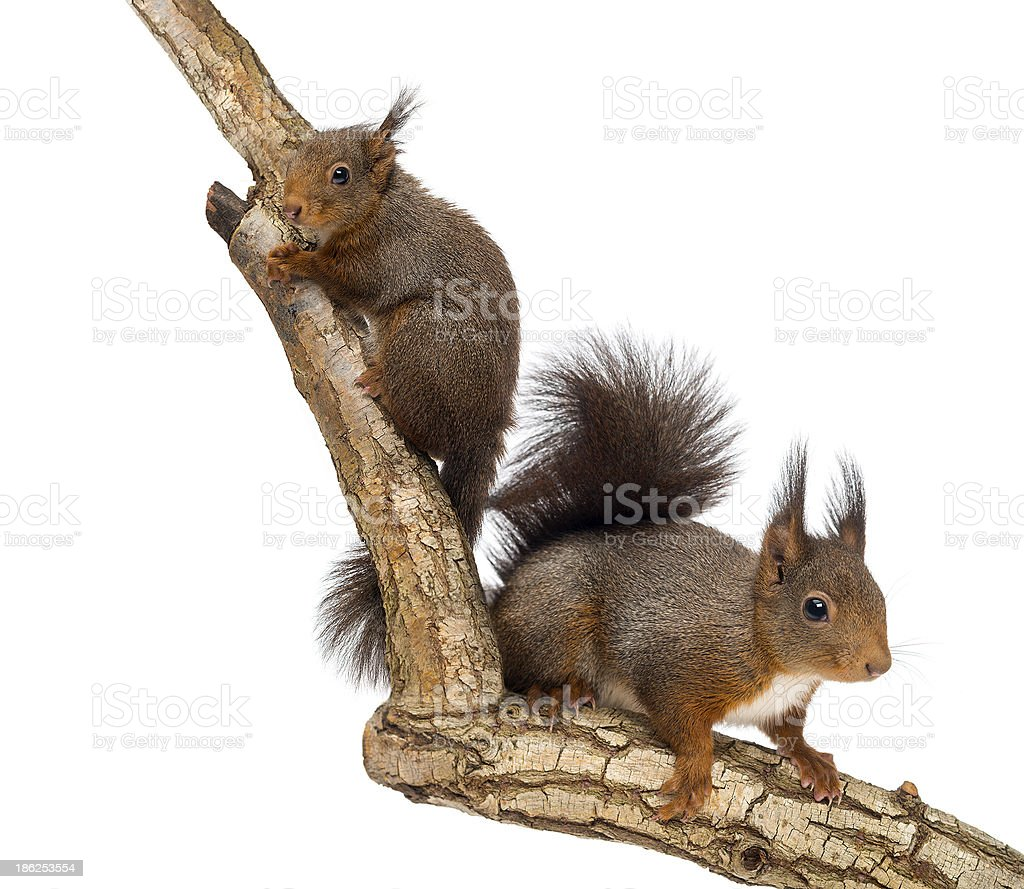 Two Red squirrels climbing on a branch, isolated royalty-free stock photo