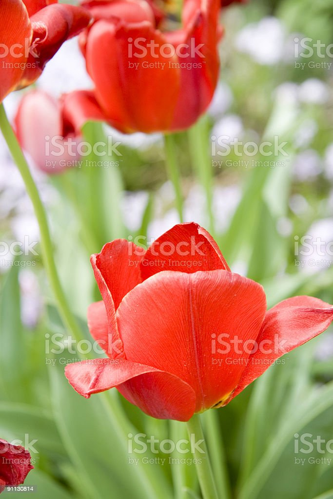 Two Red Tulips- Series royalty-free stock photo