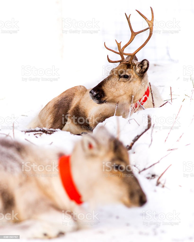 Two reindeers portrait stock photo