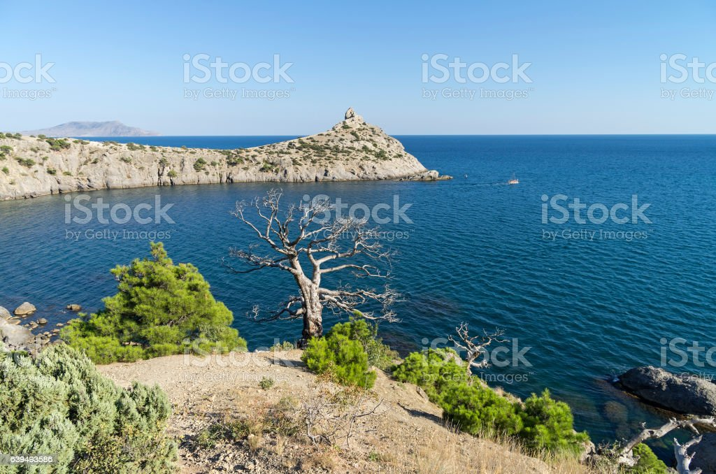 Two relict pine, live and dead, over the sea. Crimea, stock photo
