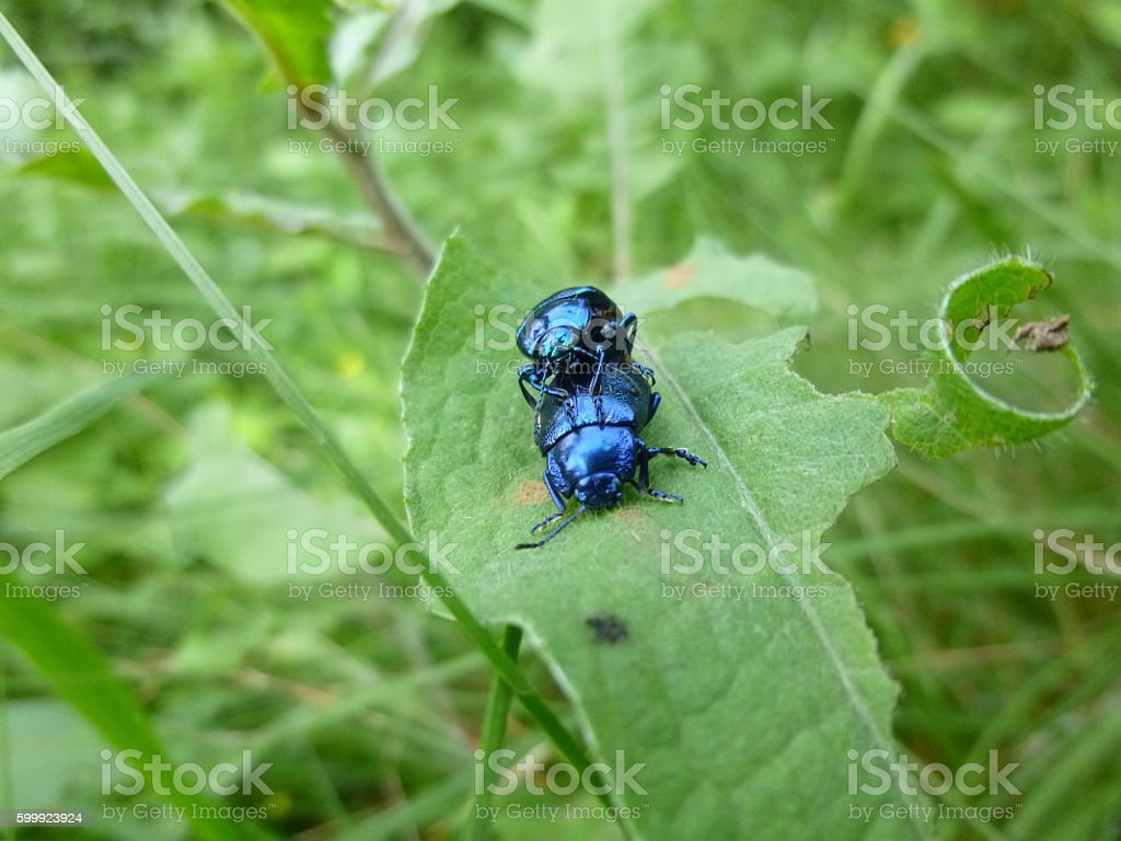 Two reproductive blue dung beetles stock photo