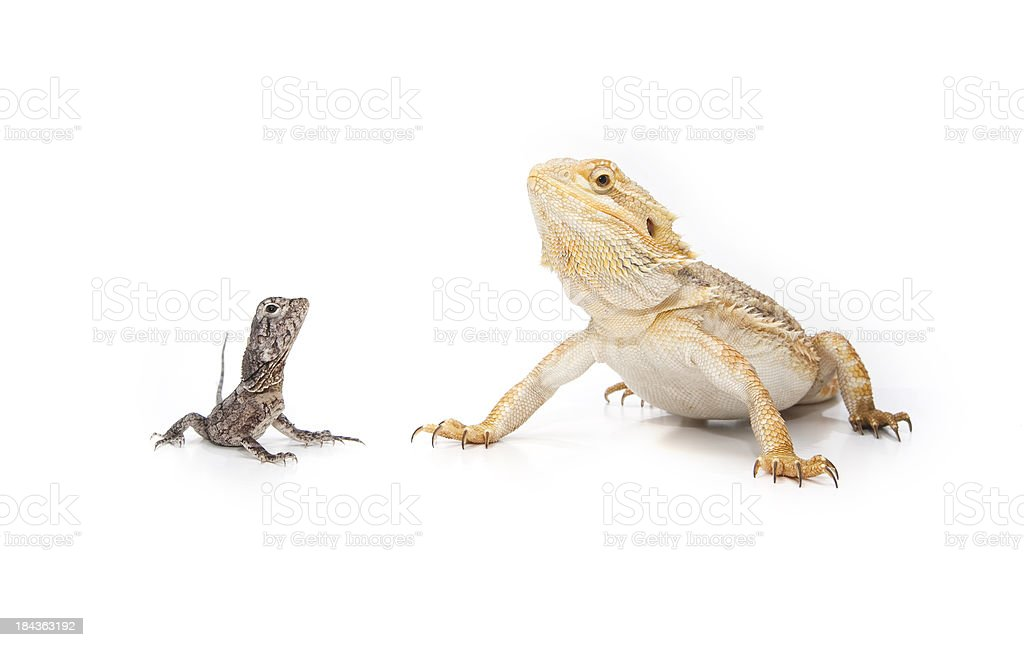 Two Reptiles, sitting together stock photo