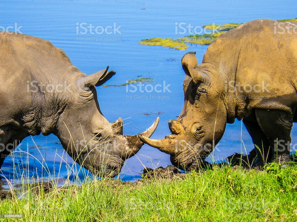 Two Rhinoceros facing each other at Watering Hole South Africa stock photo