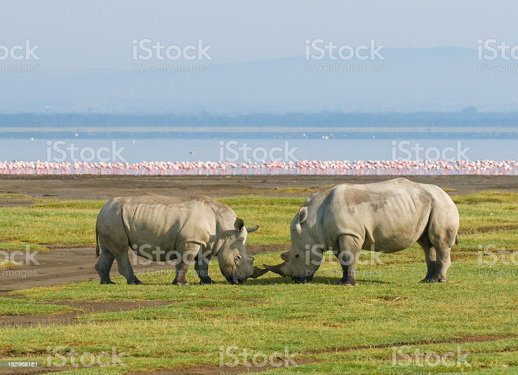Two rhinos in Lake Nakuru National Park, Kenya stock photo