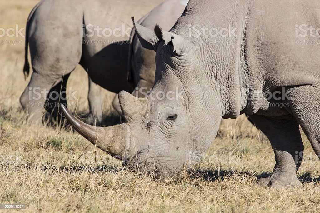 two rhinos stock photo