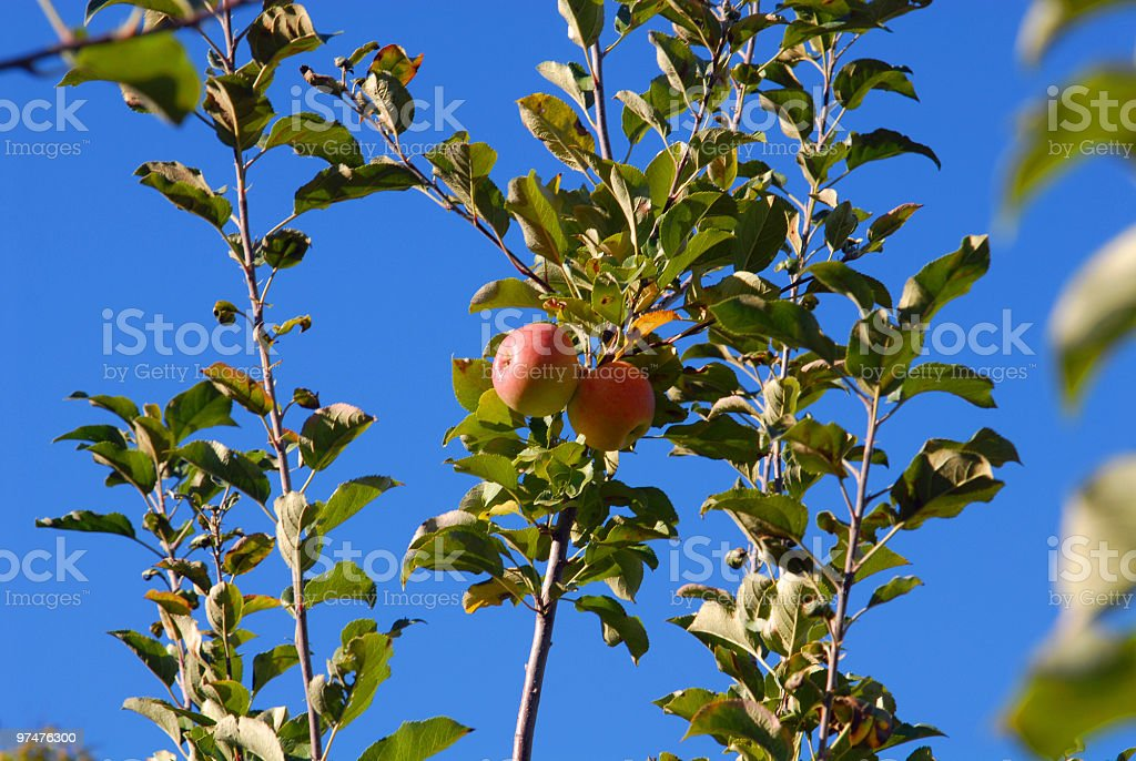 Two Ripe Apples stock photo