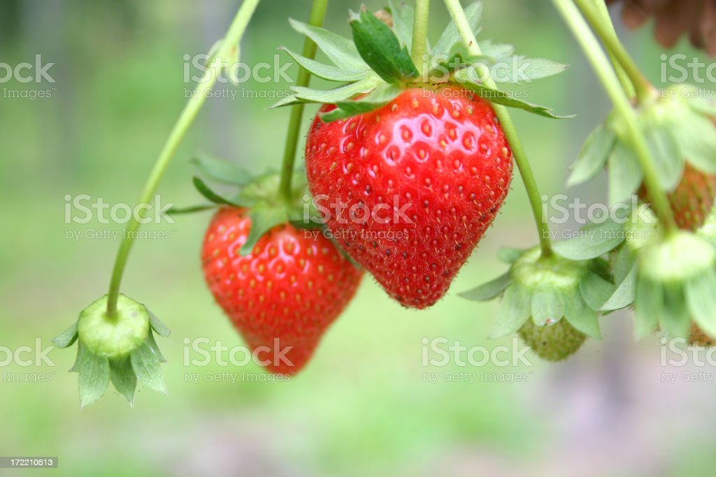 Two ripe red strawberries on the vine stock photo
