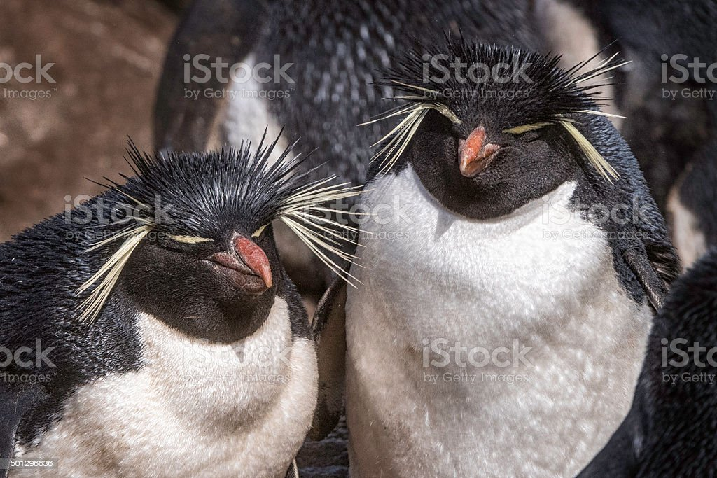 Two Rockhopper Penguins in the Falkland Islands stock photo