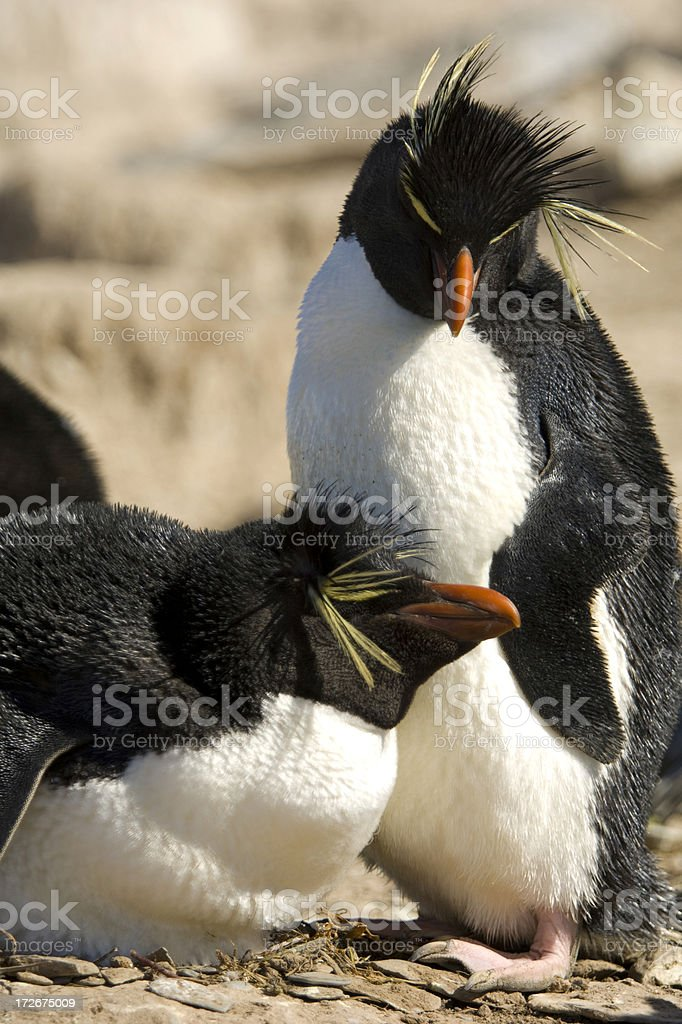 Two Rockhopper Penguins on their nest stock photo