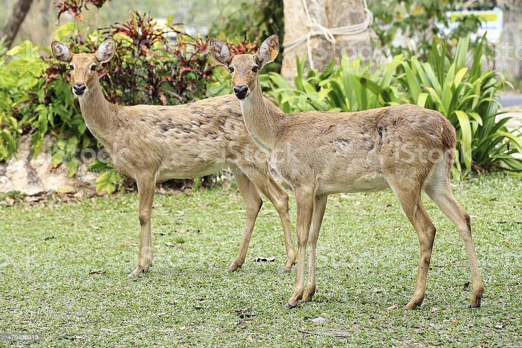 Two roe deers royalty-free stock photo
