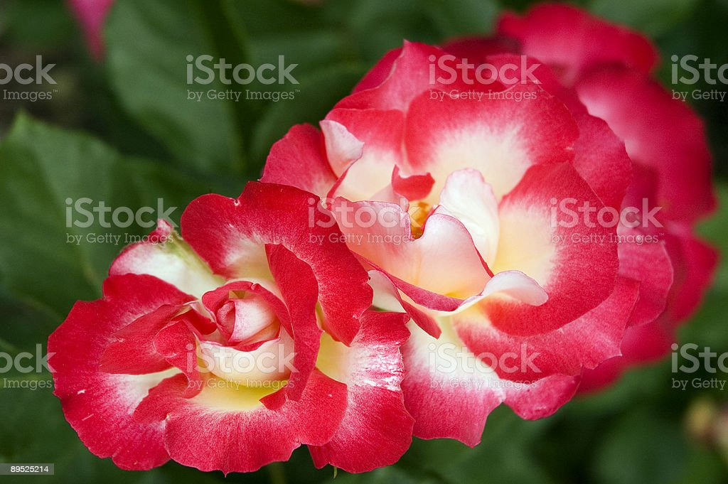 Two Roses in their Natural Environment royalty-free stock photo