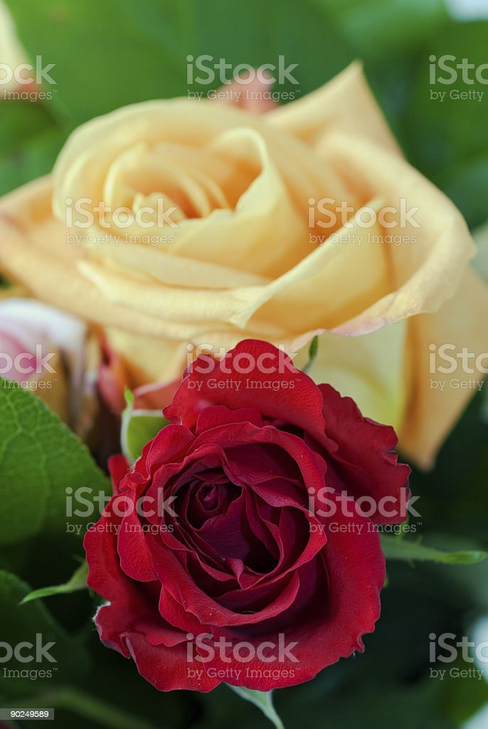 Two roses royalty-free stock photo
