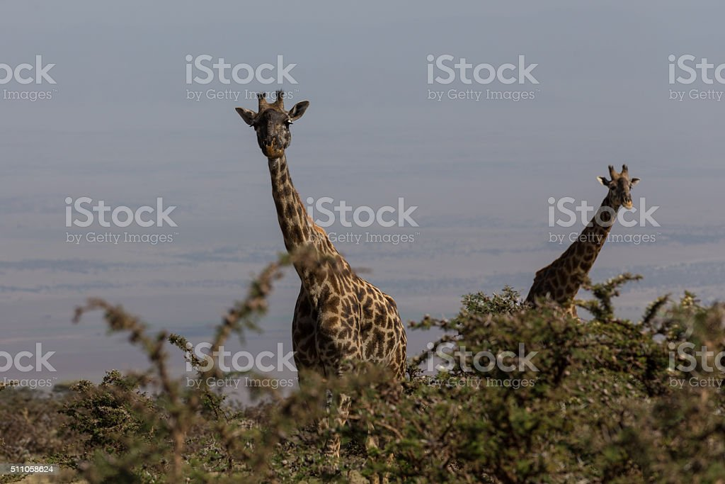 Two Rothschild's giraffes looking up stock photo