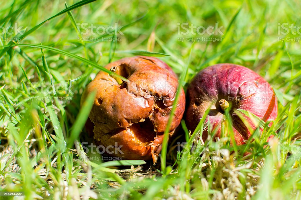 Two Rotting Apples on the grass stock photo