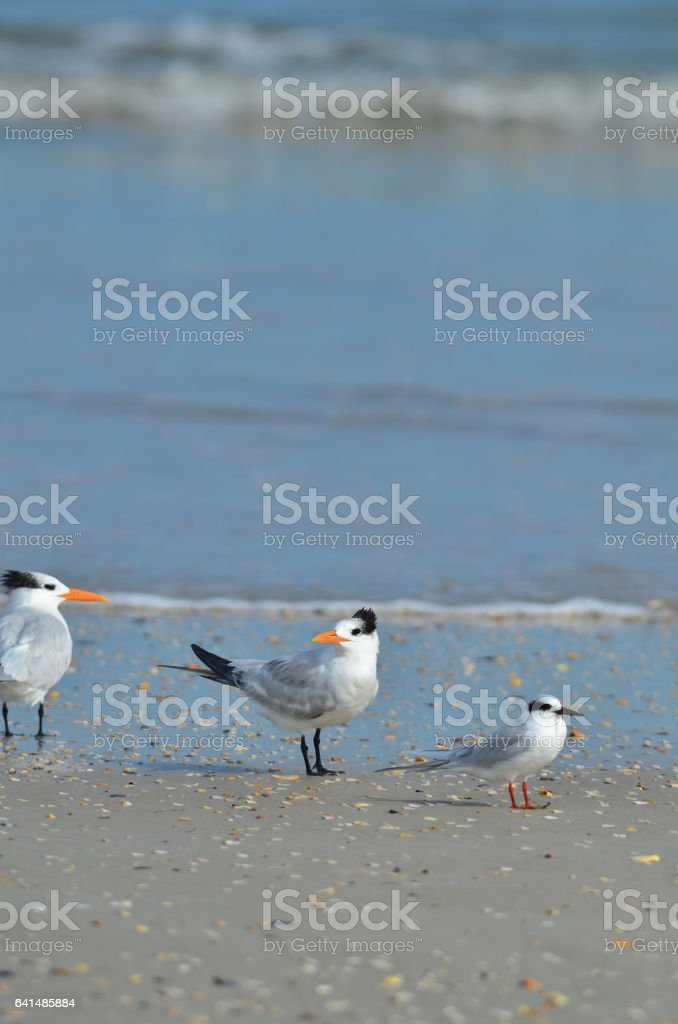 Two Royal and one Forster's tern at the beach stock photo