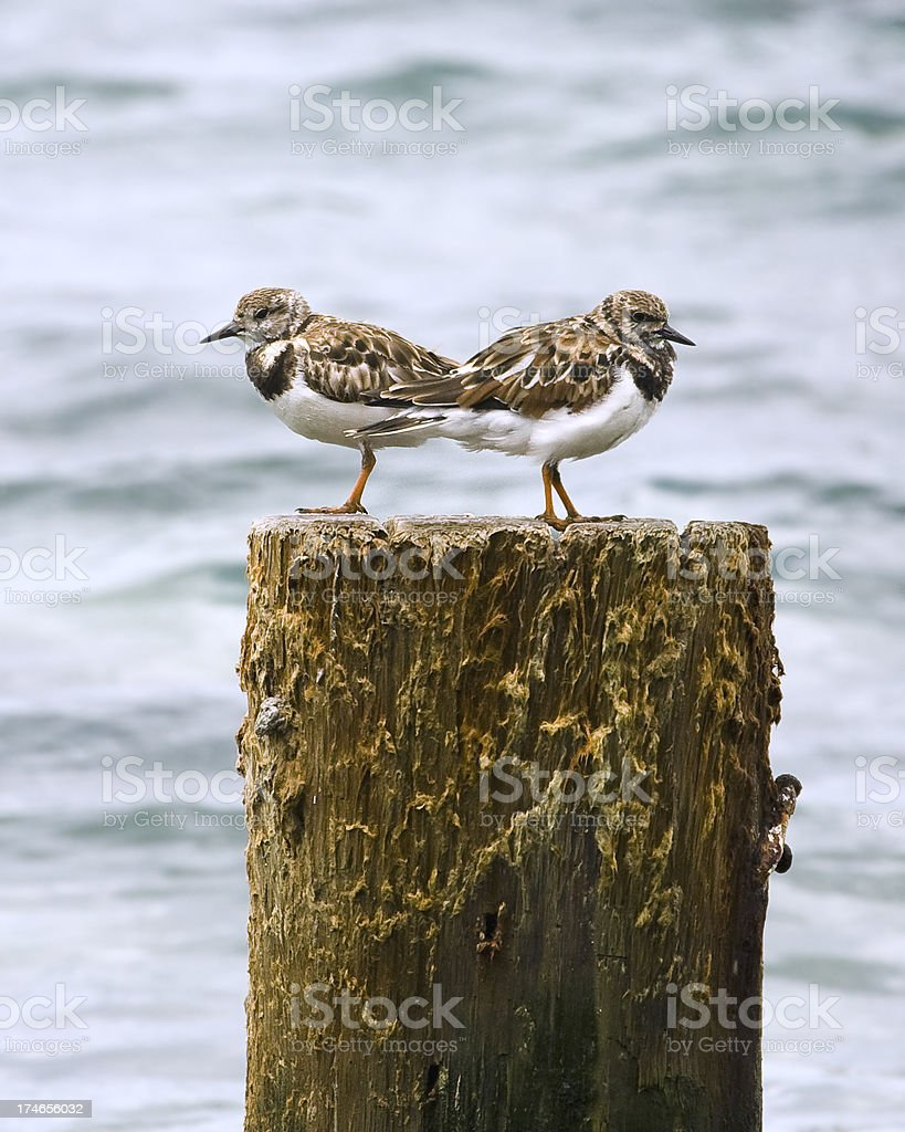 Two Ruddy Turnstones on a Piling - Profiles stock photo