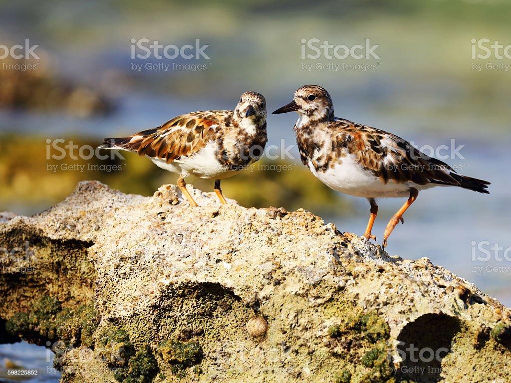 Two Ruddy turnstones (Arenaria interpres) on a rock stock photo