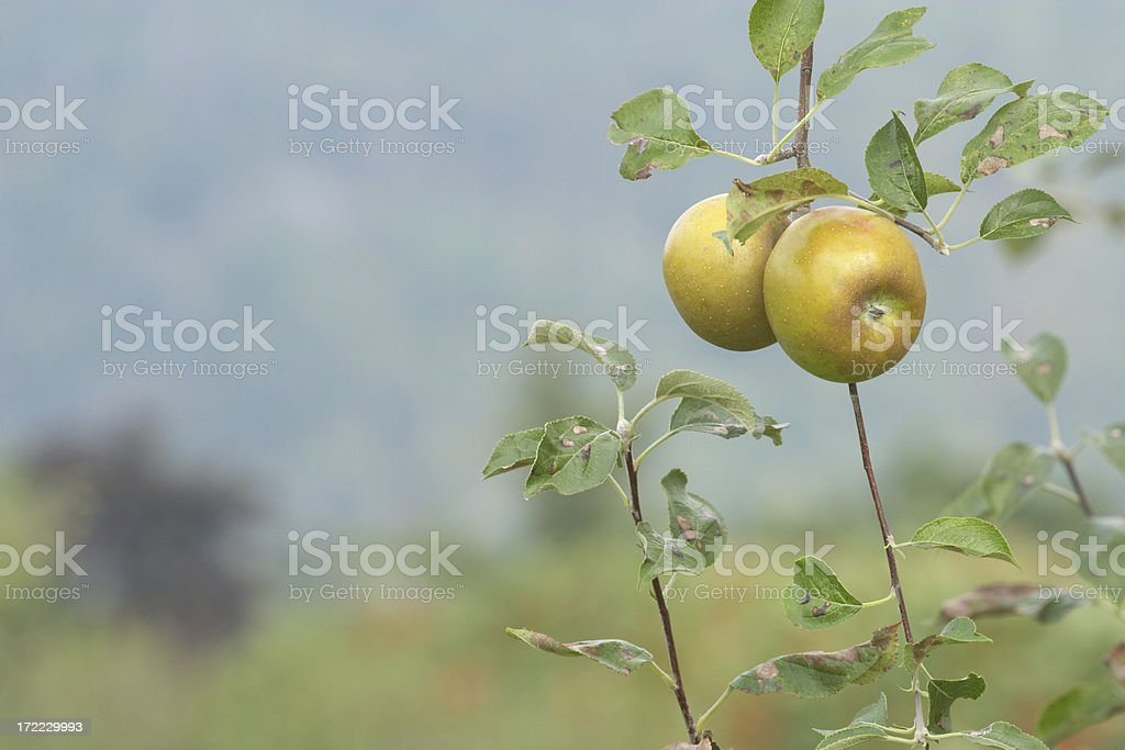 Two Russet Apples royalty-free stock photo