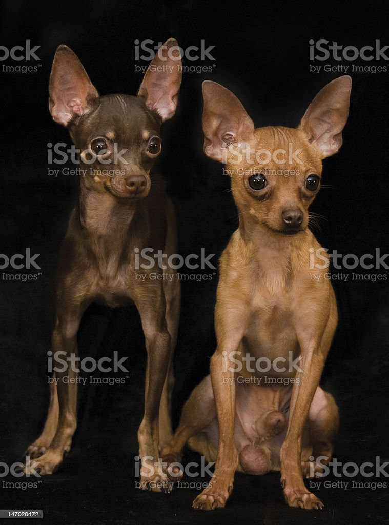 Two russian toy dog royalty-free stock photo