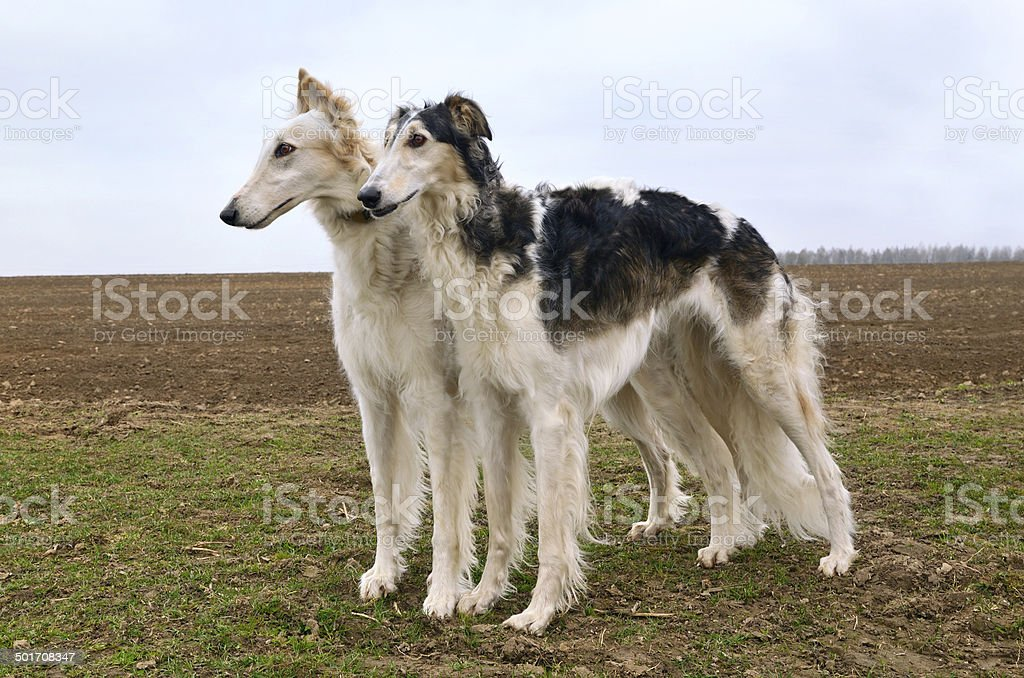 Two russian wolfhounds stock photo
