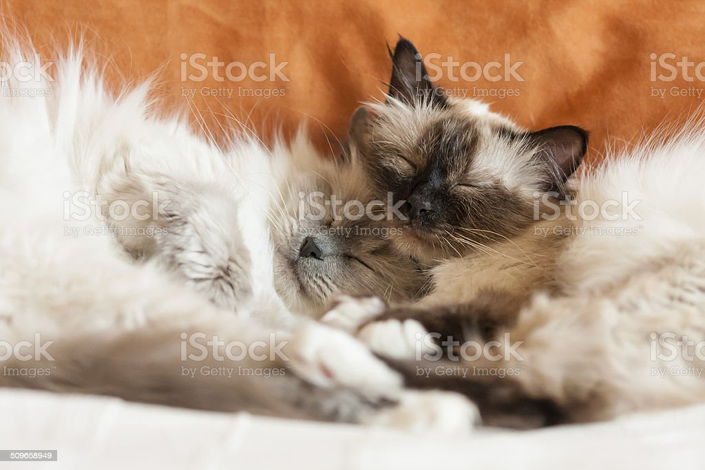 Two sacred birman cats sleeping stock photo
