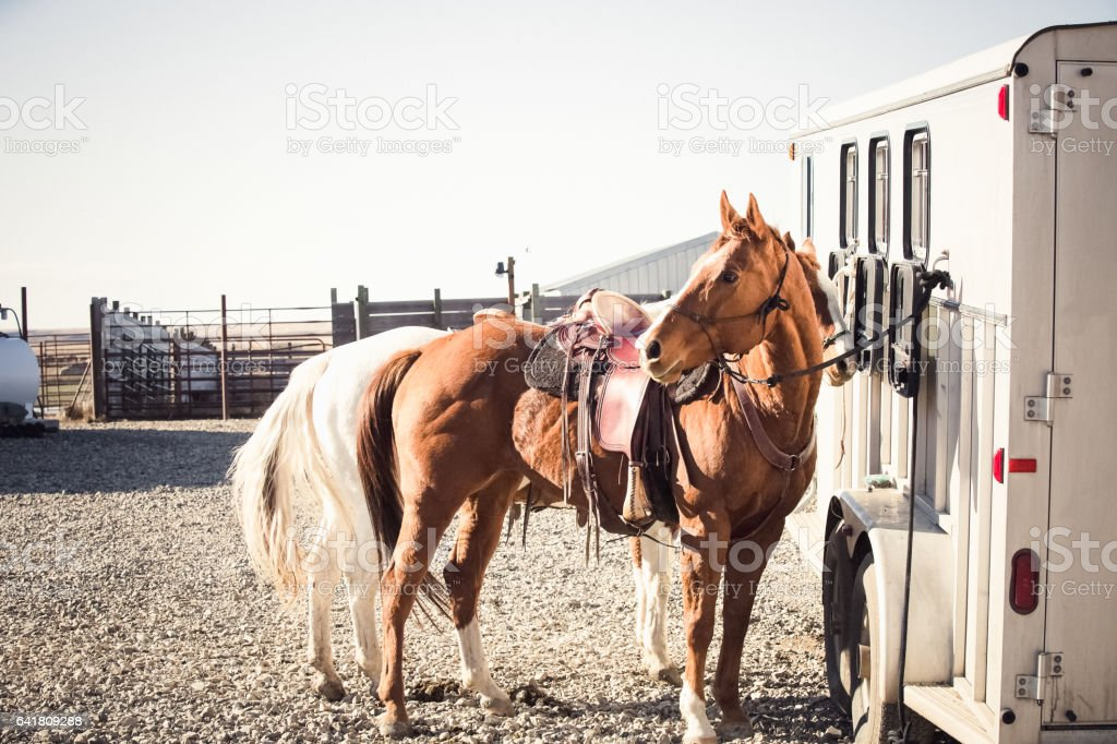 Two Saddled Horses Waiting Near Horse Trailer stock photo