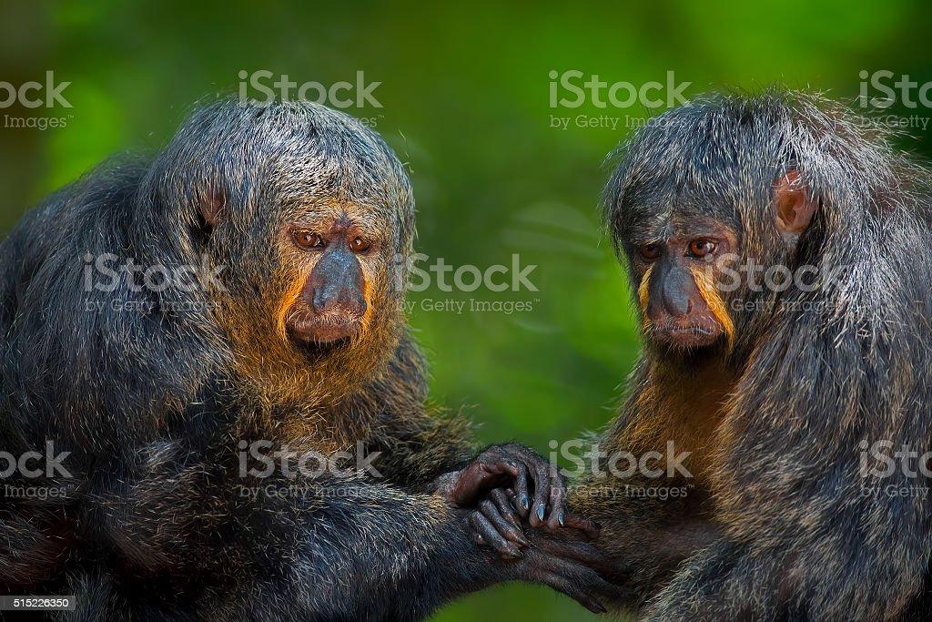 Two Saki Monkeys stock photo