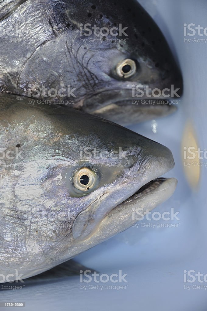 Two Salmon Fish Close Up royalty-free stock photo