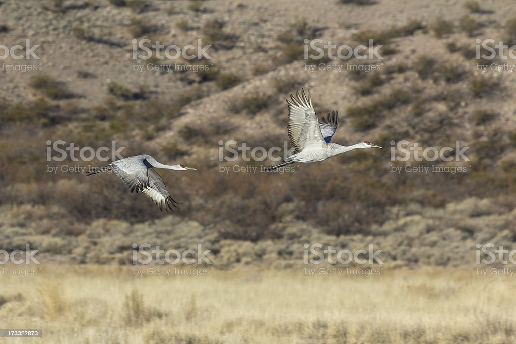 Two Sandhill Cranes flying royalty-free stock photo