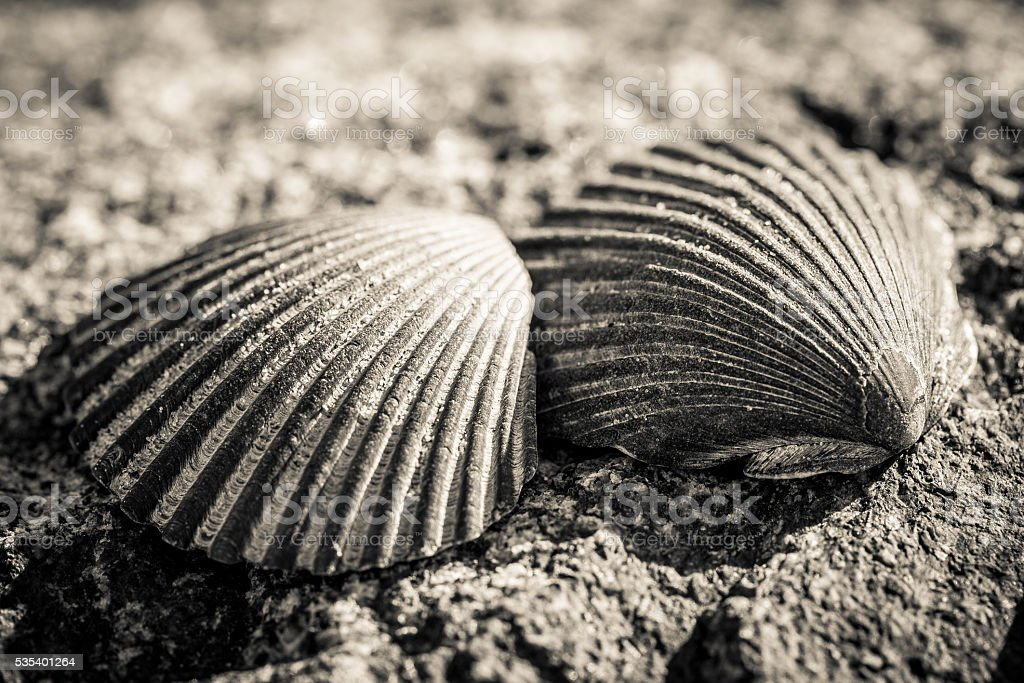Two Scallop Shells stock photo