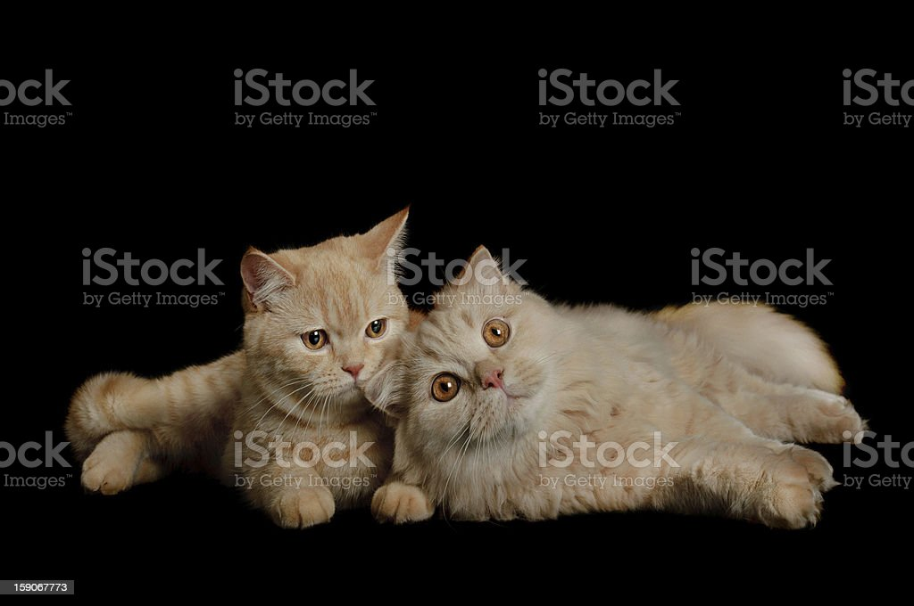 Two scottish cats royalty-free stock photo