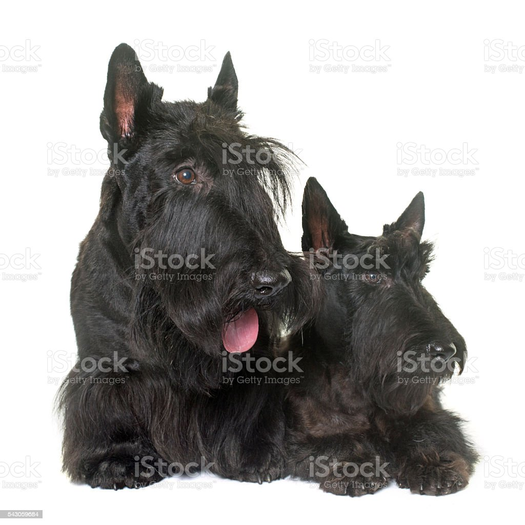 two scottish terrier stock photo