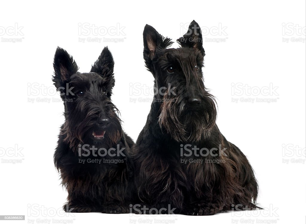 Two Scottish Terriers sitting in front of a white background stock photo