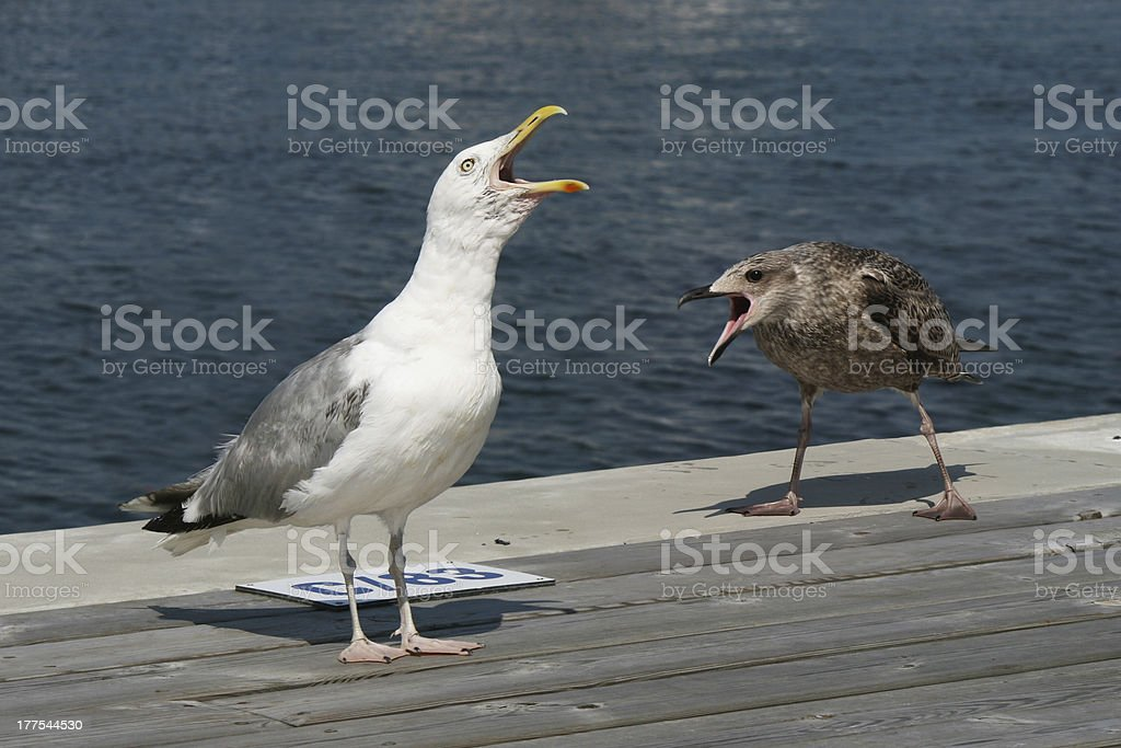 Two screaming gulls standing in a dock stock photo