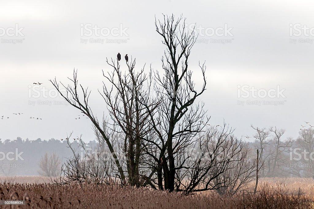 Two sea eagles stock photo
