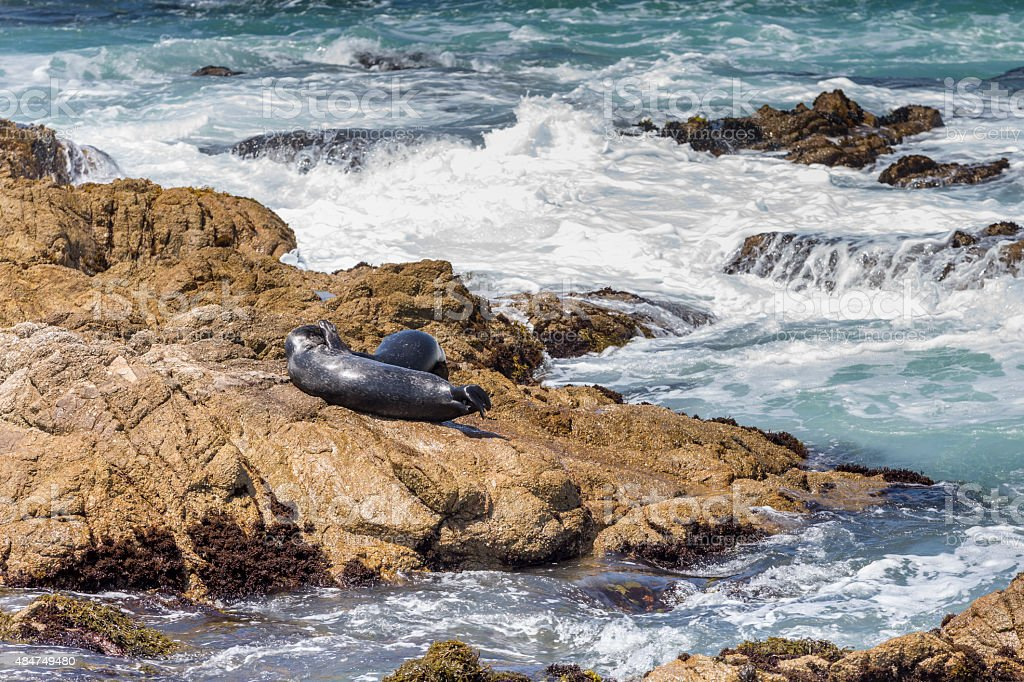 Two Sea Lions on the Rock at Monterey Bay stock photo