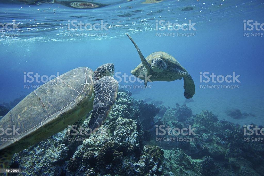 """Dois tartarugas marinhas: """"mãos"""" foto royalty-free"""