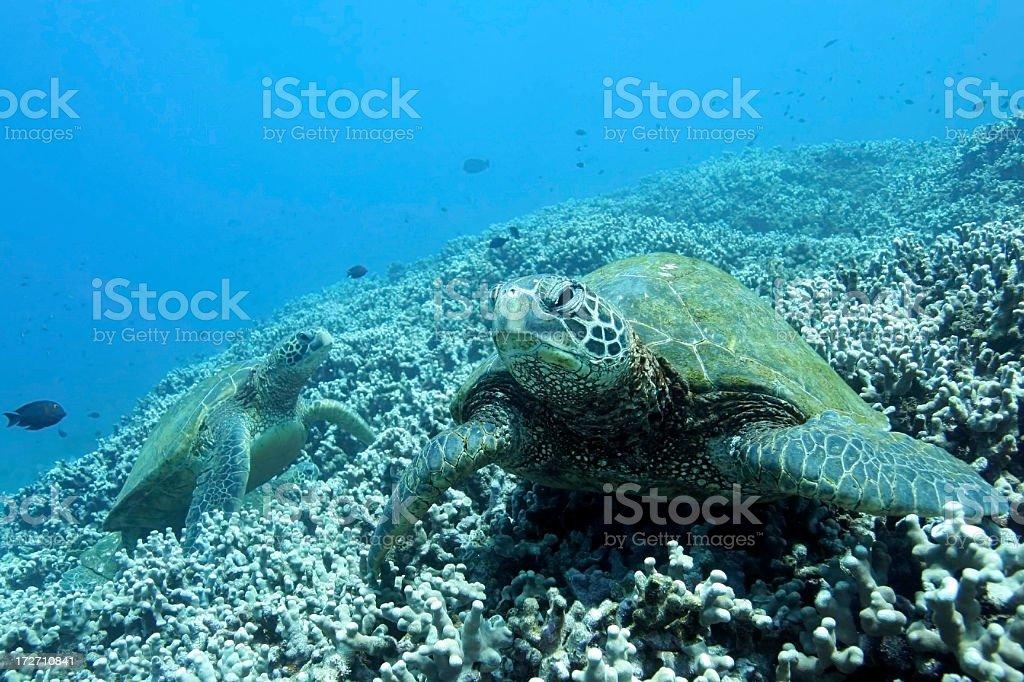 Deux tortues de mer de Corail photo libre de droits