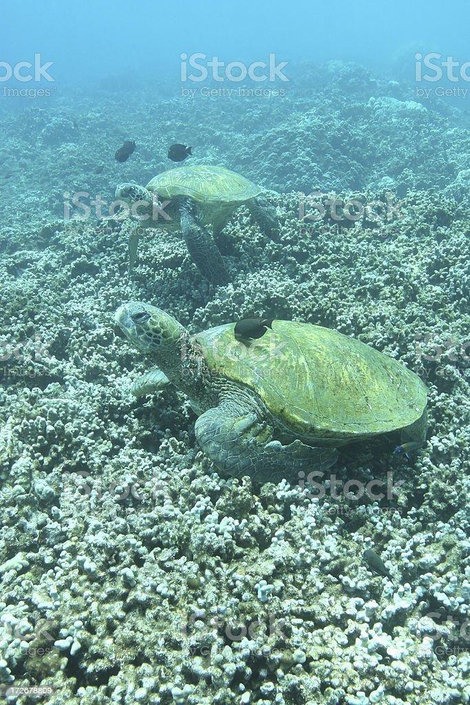 Deux tortues de mer sur le récif de corail photo libre de droits