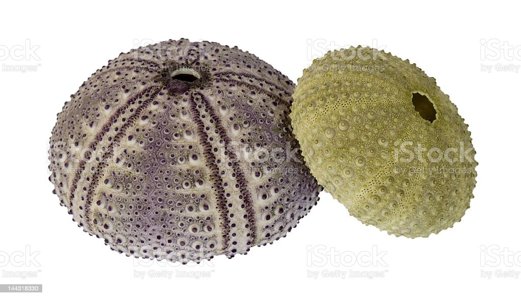 Two sea urchins, isolated on white stock photo